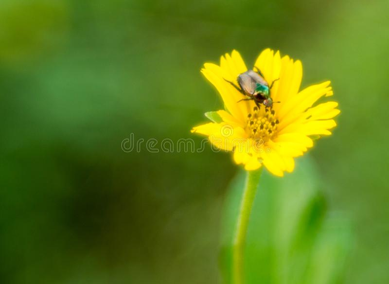A shiny beetle on daisy family flower royalty free stock photography