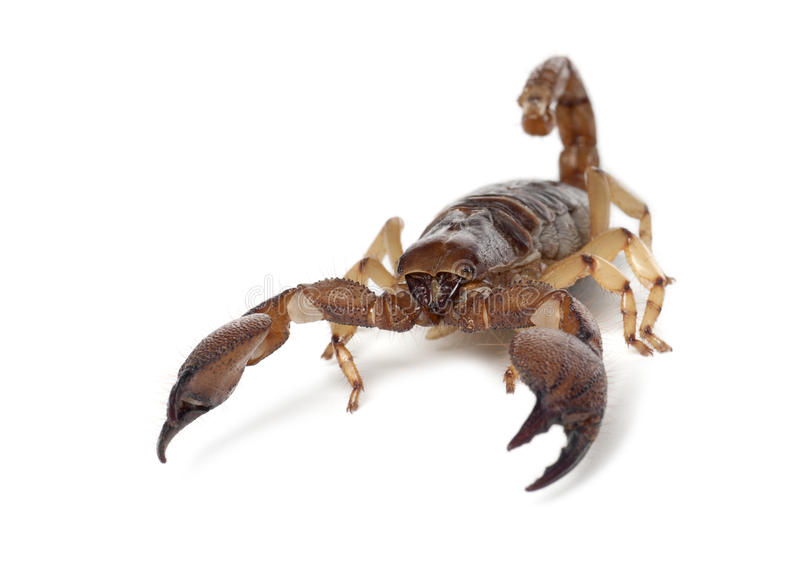 Download Shiny Burrowing Scorpion stock photo. Image of background - 26425070