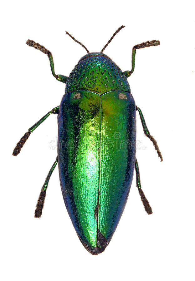 Shiny Green Beetle royalty free stock photography