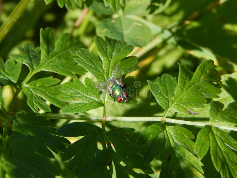 Shiny green fly resting on leaves royalty free stock photo