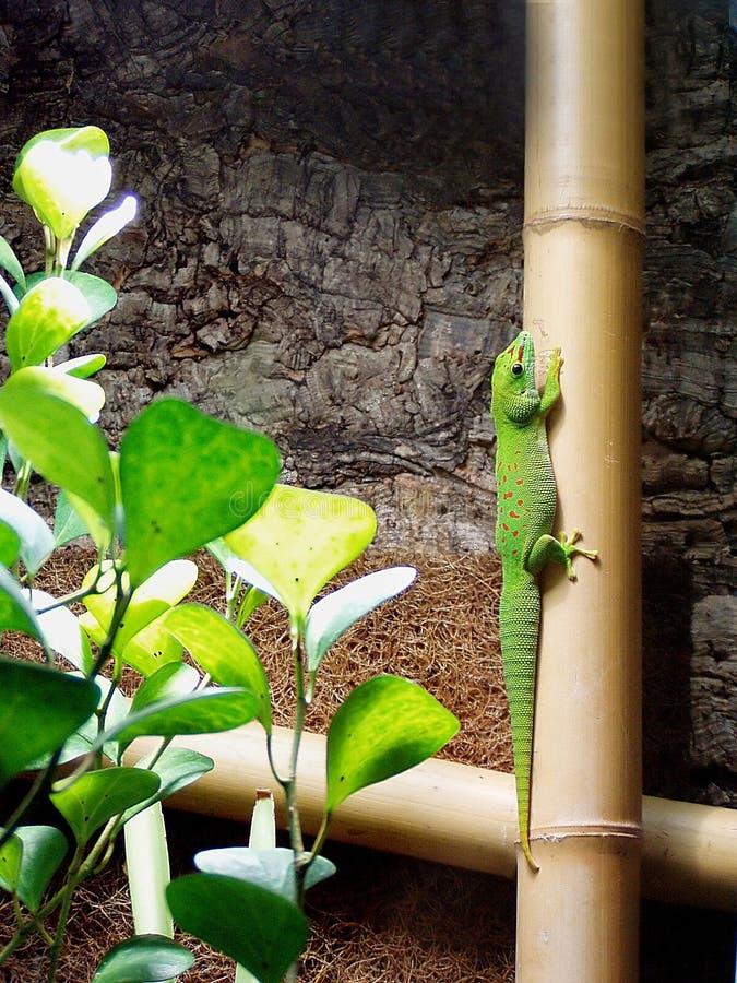Shiny green lizard stock image