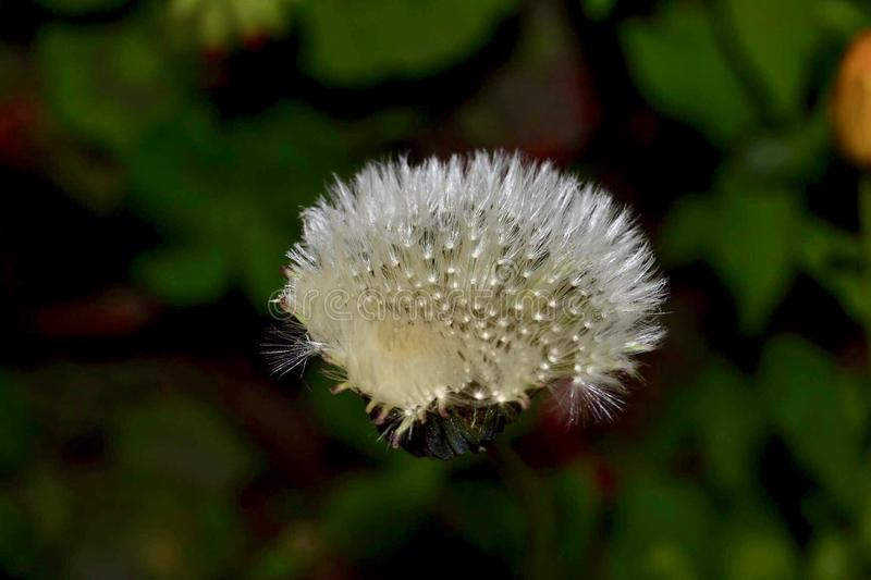 Shiny Hairy Flower. A highlighted white hairy flower royalty free stock photo