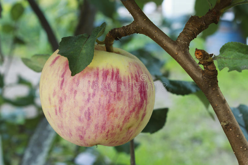 Shiny pink apple on a branch stock photo