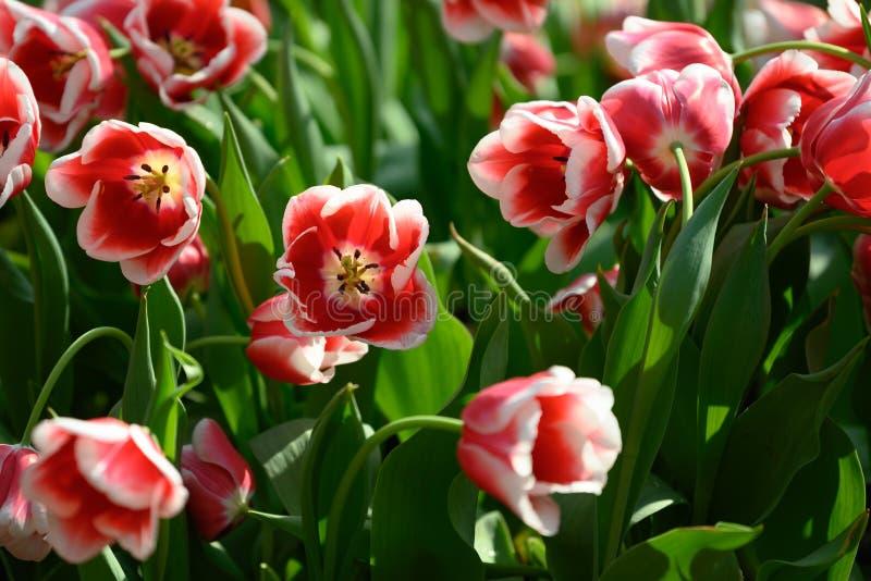 Red and white tulips `Tulipa Singsapura` stock photo