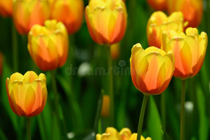 Yellow orange tulips in Flowerbed, flowering yellow tulips in spring royalty free stock photography