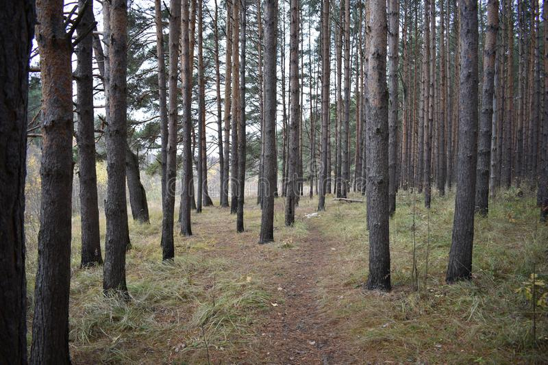 Ship grove path in the forest. The trail meanders out in the pristine pine forest. Walk in the coniferous forest stock photos