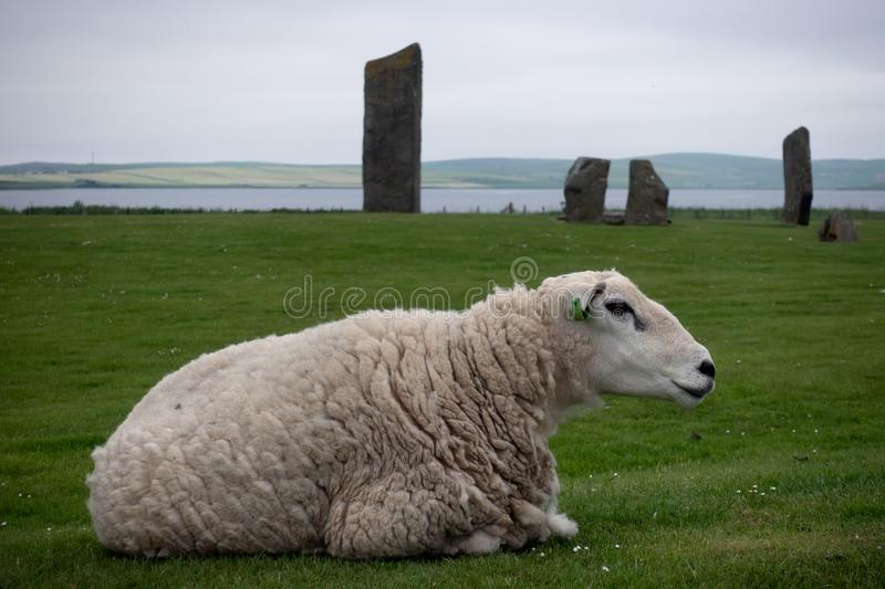 Ship at the Standing Stones of Stenness. Sheep laying on the green grass with the Standing Stones of Stenness in the backgound, Scotland royalty free stock photo