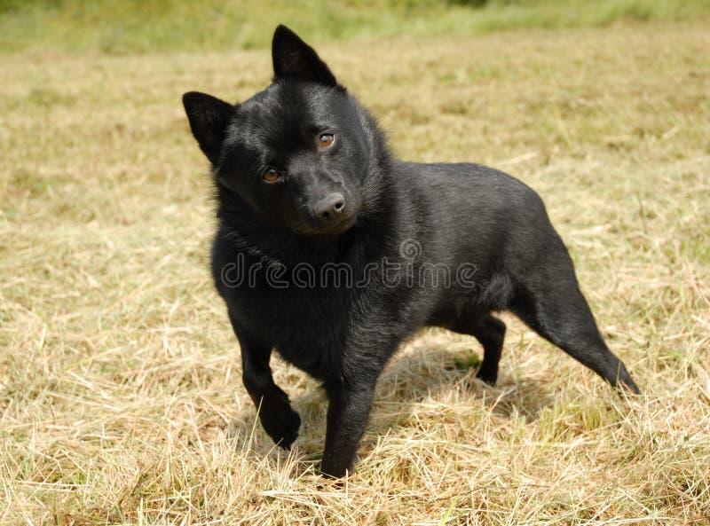 shipperke миниатюры собаки стоковое фото rf