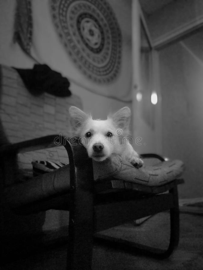 Shira the dog royalty free stock photo