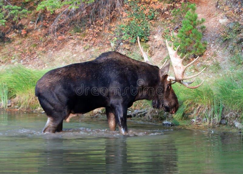 Shiras Bull Moose near shore of Fishercap Lake in the Many Glacier region of Glacier National Park in Montana U stock photography