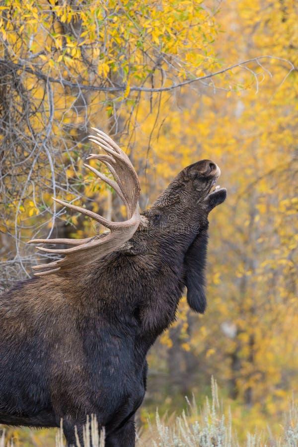 Shiras Bull Moose in Rut. A shiras bull moose in rut in fall royalty free stock images