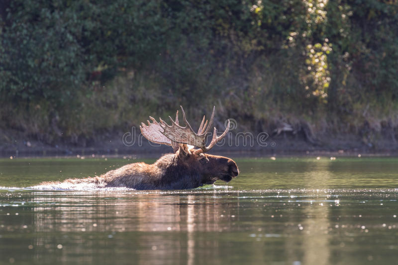 Shiras Bull Moose Swimming in River. A bull shiras moose crossing a river in autumn in Wyoming stock images