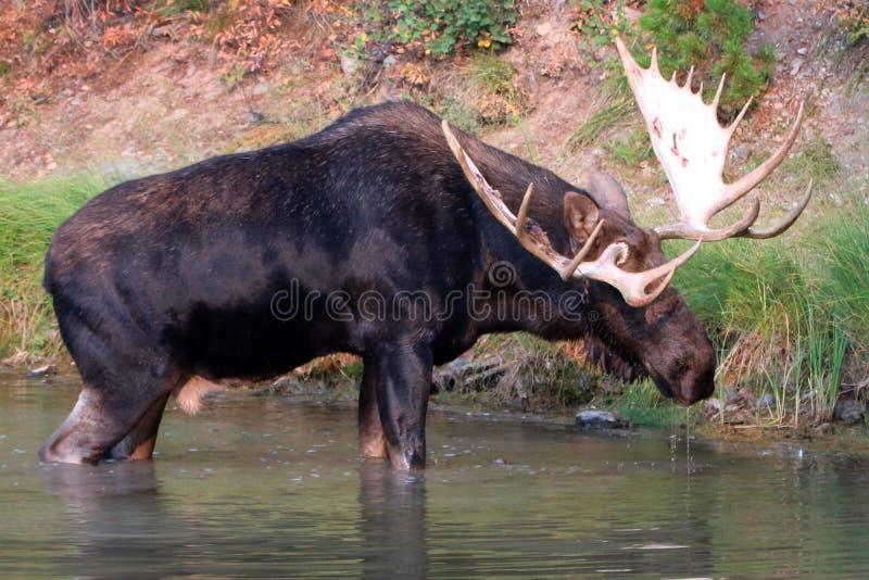 Shiras Bull Moose walking near shore of Fishercap Lake in the Many Glacier region of Glacier National Park in Montana U stock image