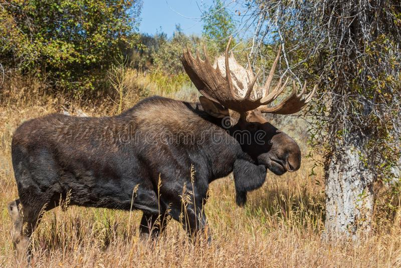 Shiras Moose Bull in the Fall Rut royalty free stock images