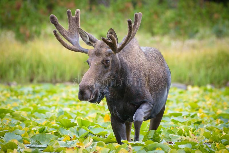 Shiras Moose of The Colorado Rocky Mountains. Wild Shiras Moose in the Rocky Mountains of Colorado. Bull Moose on Water Lily Covered Lake royalty free stock photos