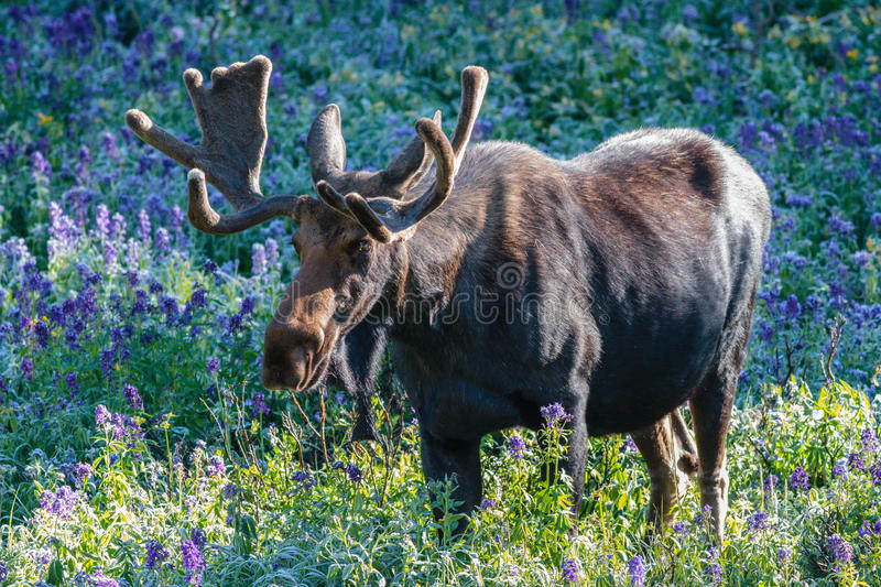 The Shiras Moose of Colorado. The Shiras moose in Colorado is the smallest of the moose species in North America royalty free stock photo