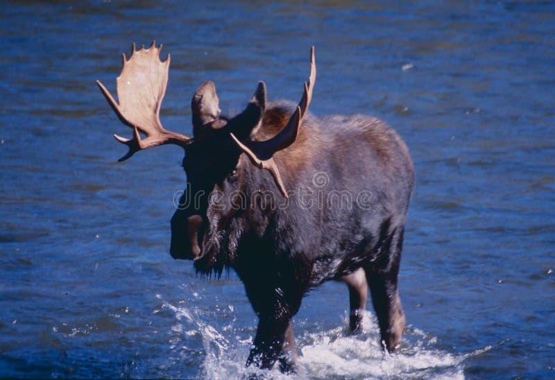 Shiras Moose stock photography