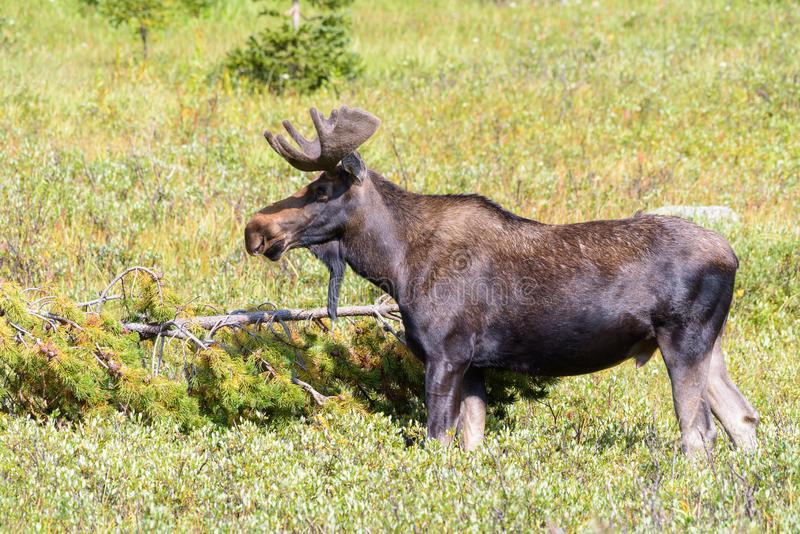 Shiras Moose in the Rocky Mountains of Colorado. Colorado Rocky Mountains - Shiras Moose in the Wild royalty free stock photos
