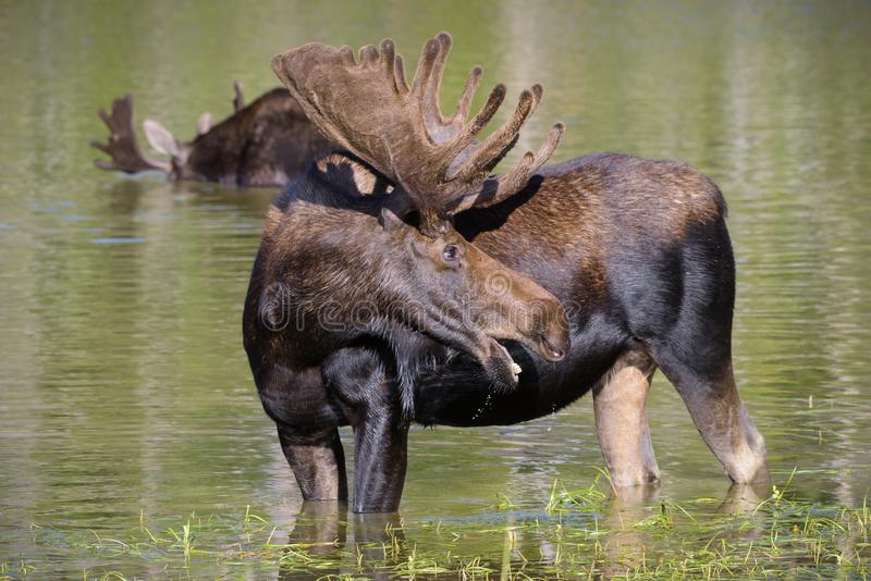 Shiras Moose in the Rocky Mountains of Colorado. Two Bull Moose in a Lake. Colorado Rocky Mountains - Shiras Moose in the Wild. Two Bull Moose Feeding on Lake stock photo
