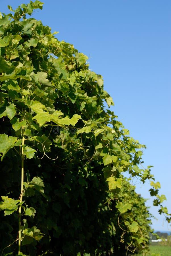 shiraz syrah winorośli obraz stock