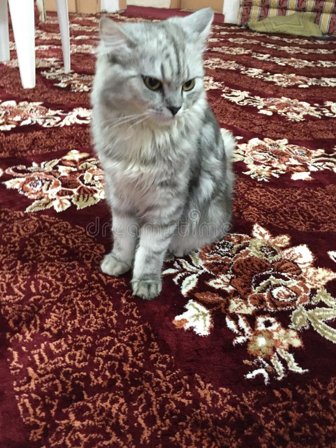 Shirazian katt arkivbild