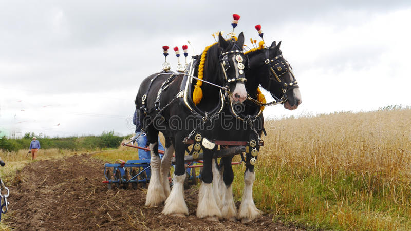 Shire τα άλογα σε μια χώρα παρουσιάζουν στο UK στοκ φωτογραφία