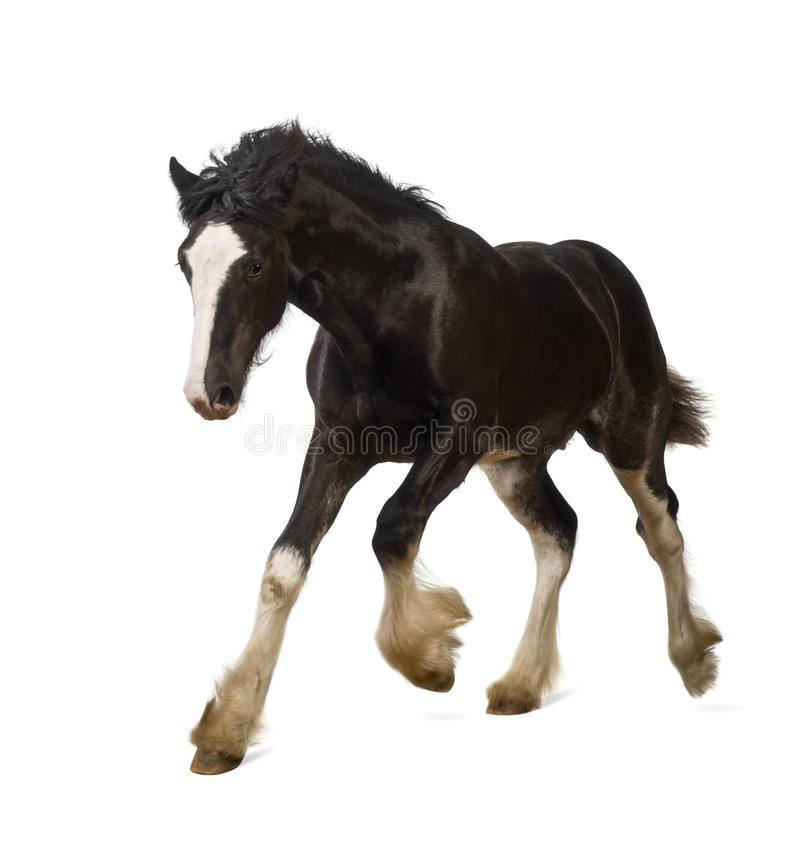 Shire horse foal galloping