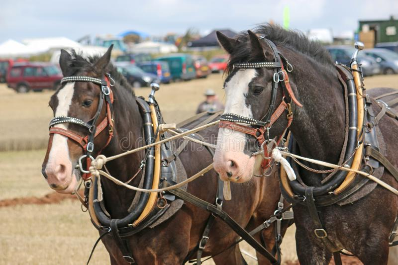 Shire horses in harness royalty free stock photo