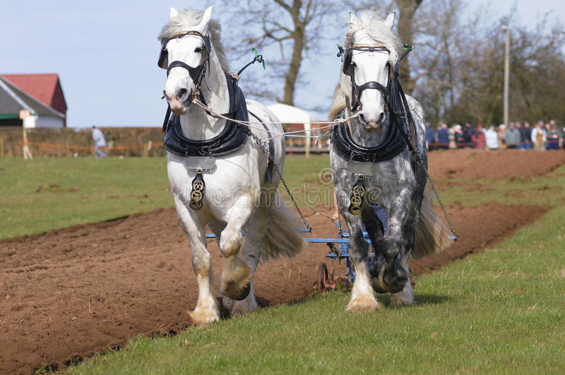 Shire Horses at a Ploughing Match stock images