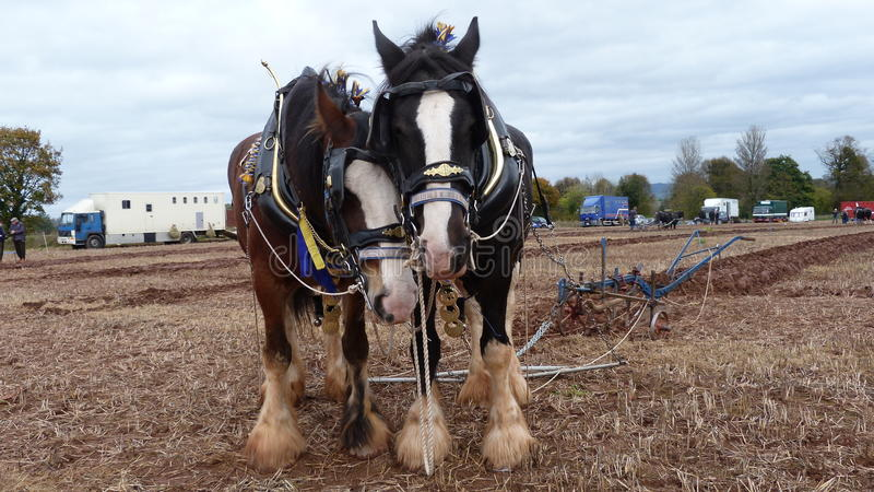 Shire Horses at a Ploughing Match in England stock image