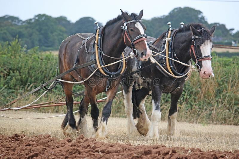 Shire horses ploughing royalty free stock images