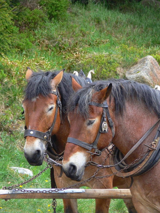 Shire horses at work stock photo