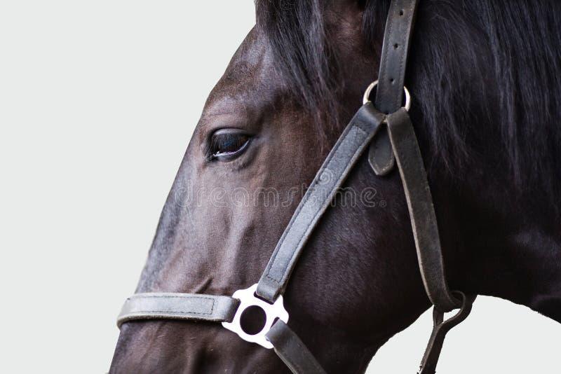 Shire stallion royalty free stock photos