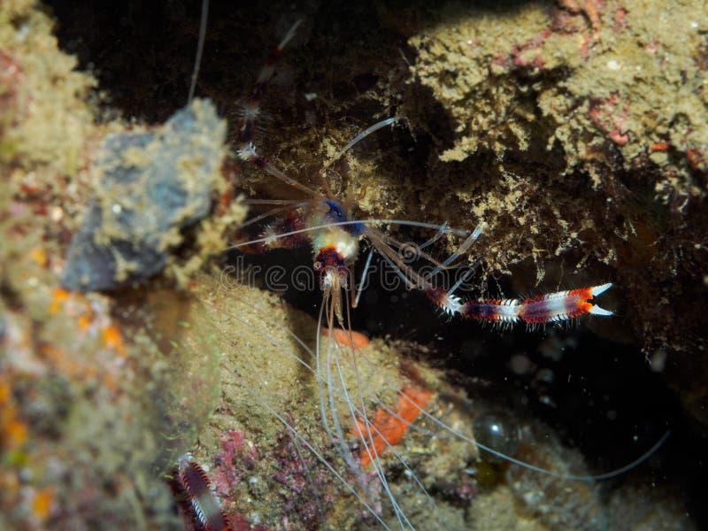 Shirmp subaquático entre o recife imagem de stock royalty free