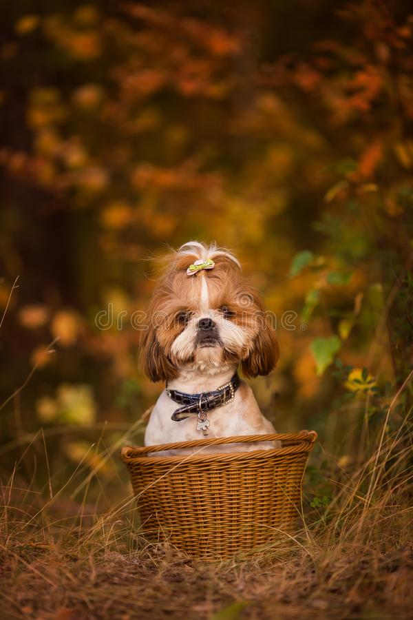 Cute puppy in a basket in the autumn forest royalty free stock image