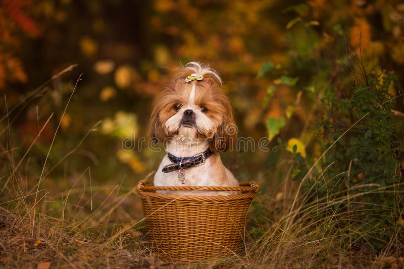 Cute puppy in a basket in the autumn forest royalty free stock photos