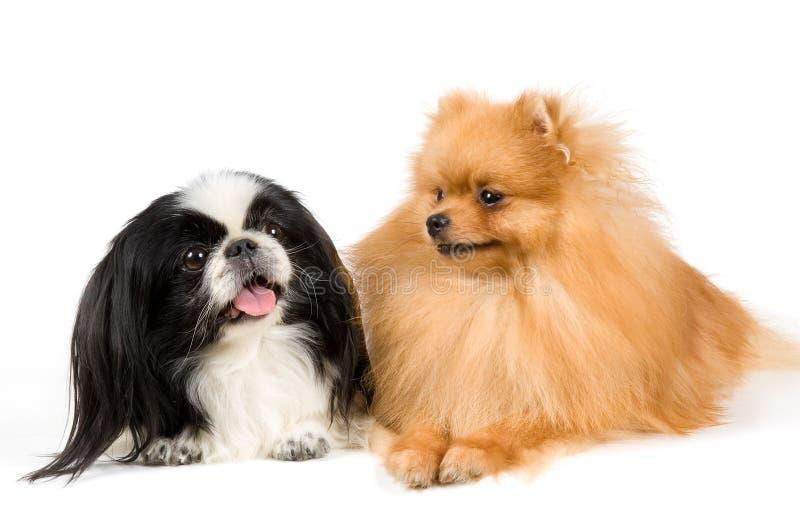 Shitsu y el perro de Pomerania-perro fotografía de archivo libre de regalías
