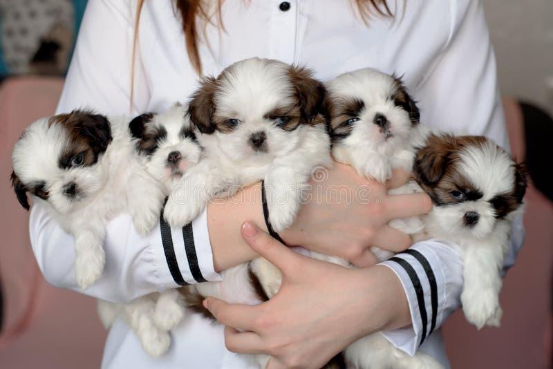 Shitzu de cinco perritos en las manos del criador fotos de archivo libres de regalías