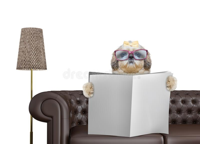 Shitzu dog with glasses reading newspaper with space for text on sofa in living room. Isolated on white stock images