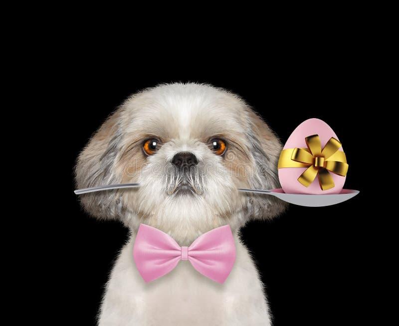 Shitzu hund med skeden och det easter ägget Isolerat på svart royaltyfria bilder