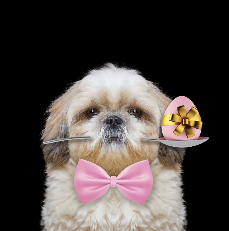 Shitzu hund med skeden och det easter ägget Isolerat på svart royaltyfri fotografi