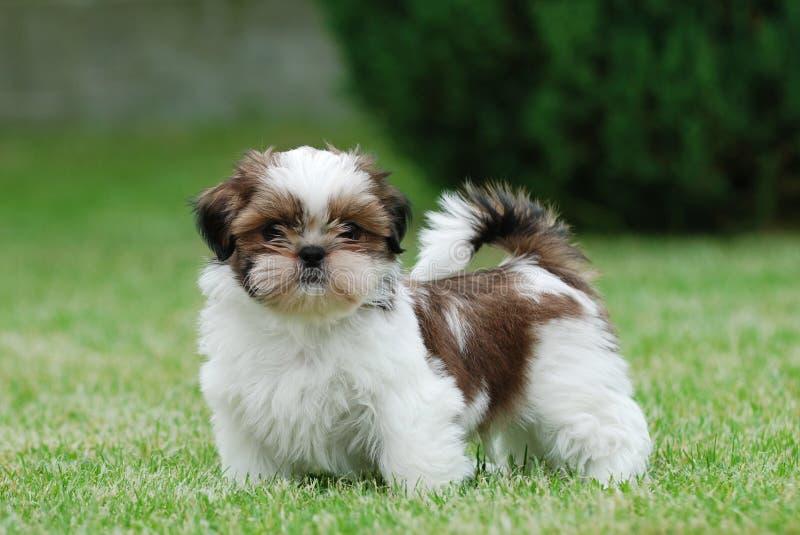 Shitzu puppy stock photography