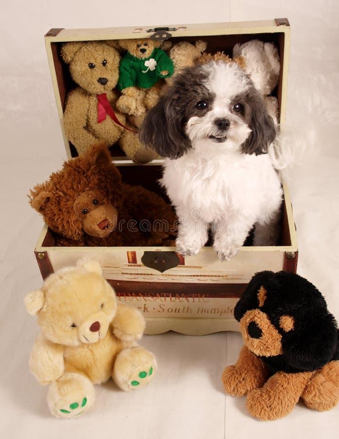 Shitzu puppy royalty free stock photos