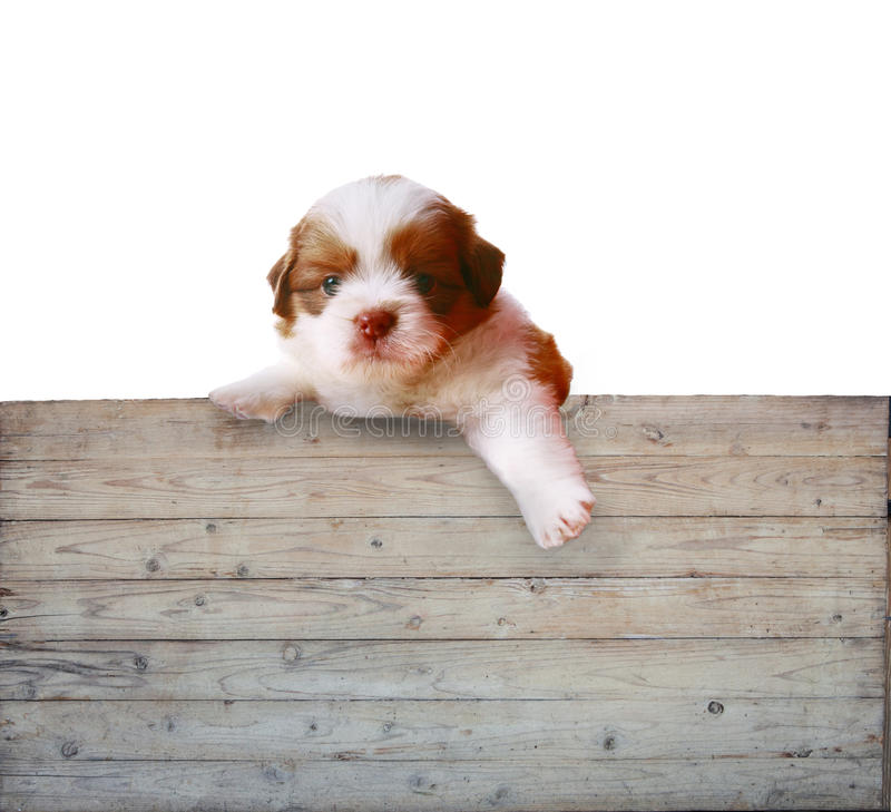 Shitzu puppy dog and wood panel board royalty free stock photography