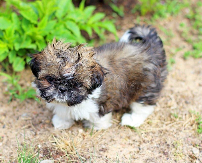 Shitzu puppy royalty free stock image