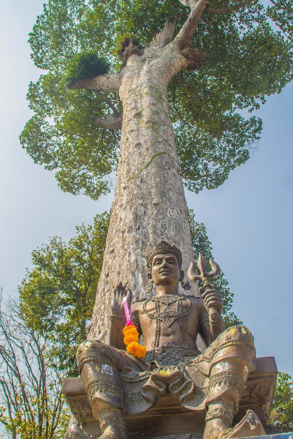 Shiva statue under big Dipterocarpus alatus tree bark, looking up. Dipterocarpus alatus also known as 'Yang Na' in Thai language royalty free stock photo