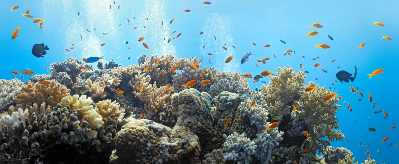 Shoal of anthias fish royalty free stock images