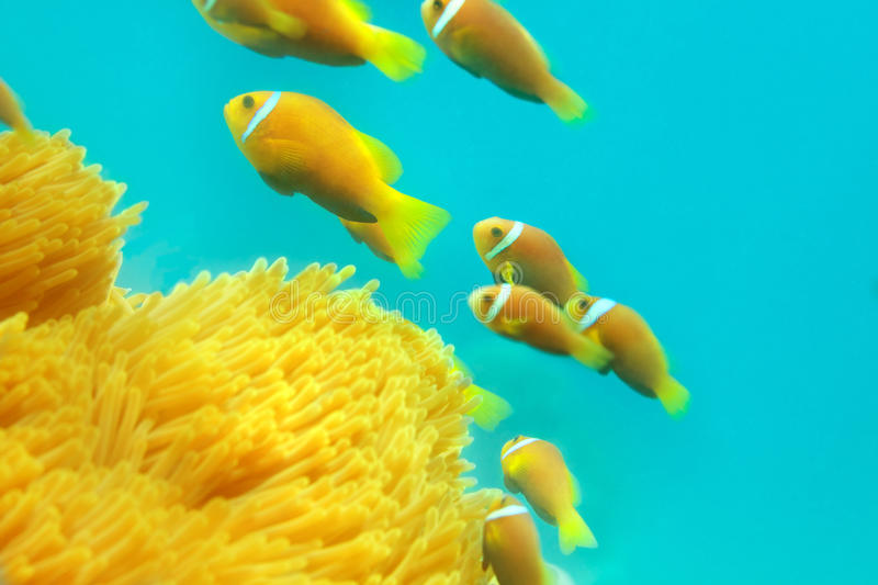 Shoal of clownfishes. Swimming between anemones stock photo