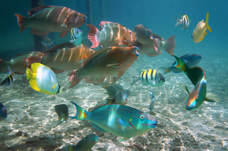 Shoal of colorful tropical fish in Belize royalty free stock photos