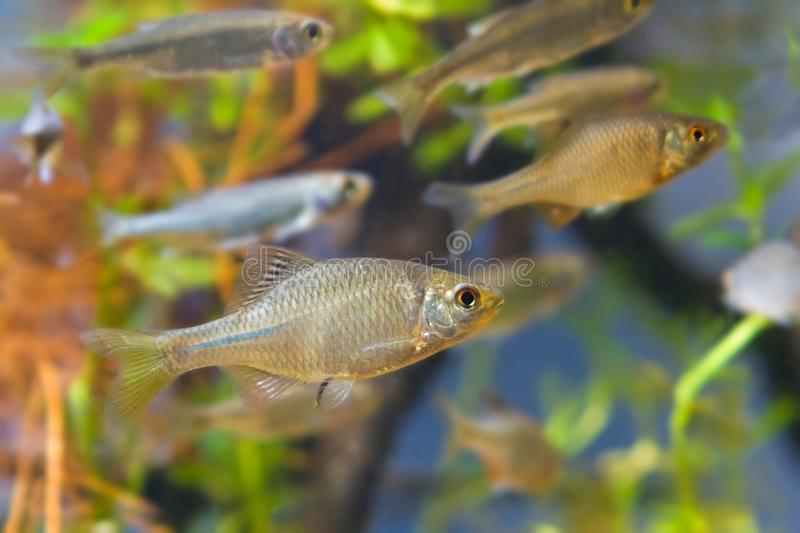 Shoal of Rhodeus amarus, European bitterling and Leucaspius delineatus ornamental freshwater fishes stock photography